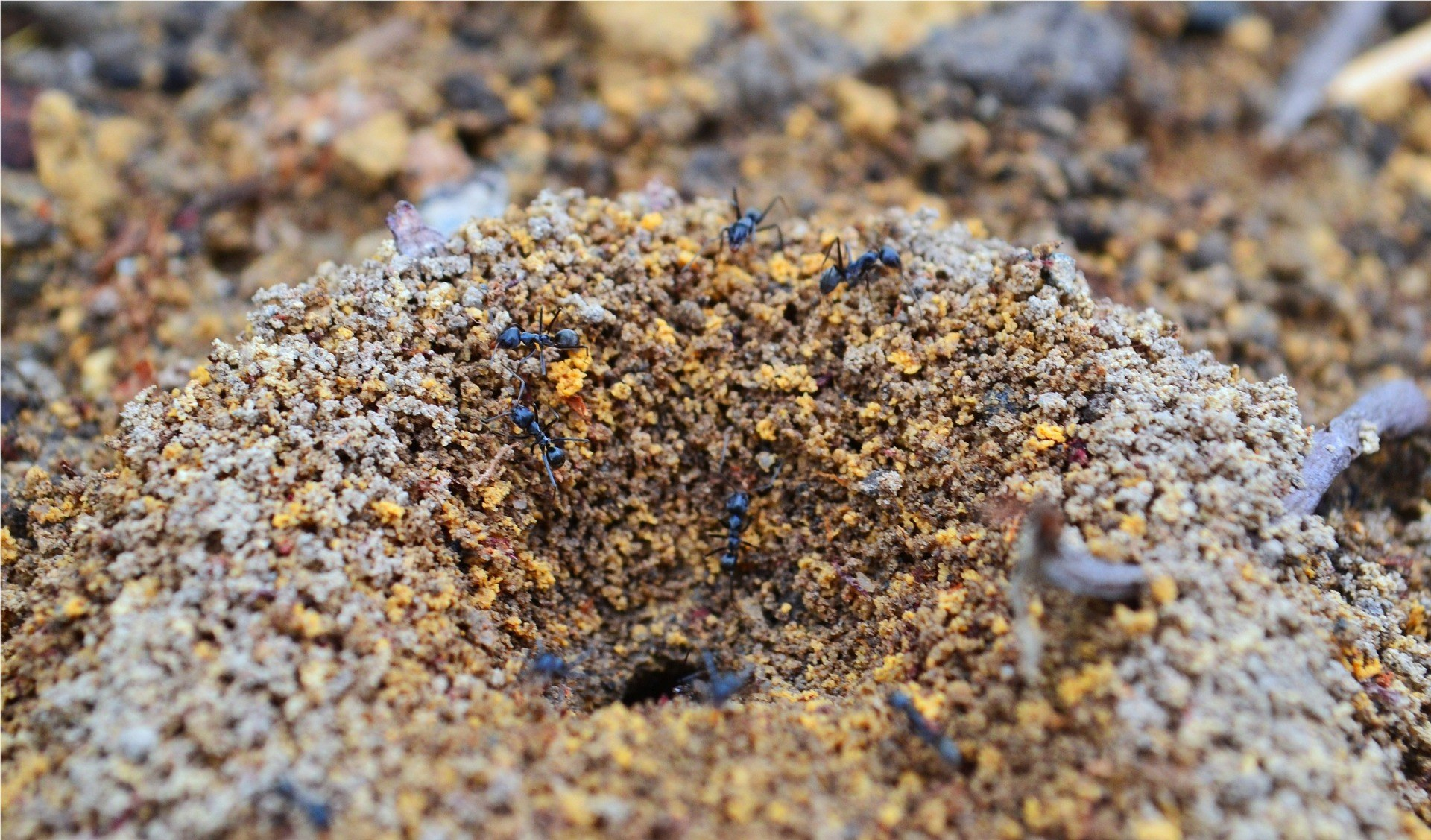 brown and black ants