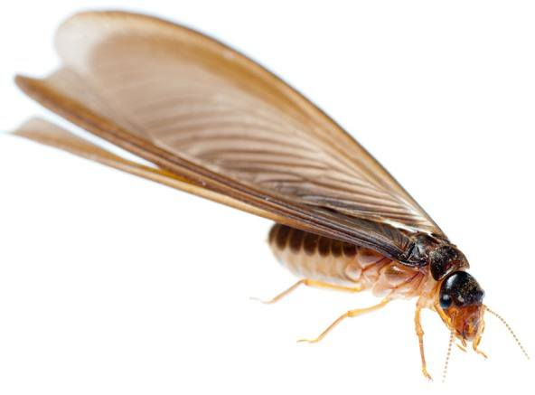 Swarming Termites What You Need To Know This Summer
